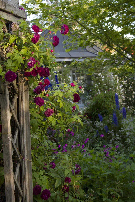 Rosene har stått utrolig lengde i år. Jeg tror aldri at 'Constance Spry' har blomstret så lenge før. Fremdeles har den noen få knopper. Dette bildet viser 'The Bishop' som hvert år blomstrer litt seinere enn de andre engangsblomstrende, så den er nok på topp denne helgen.