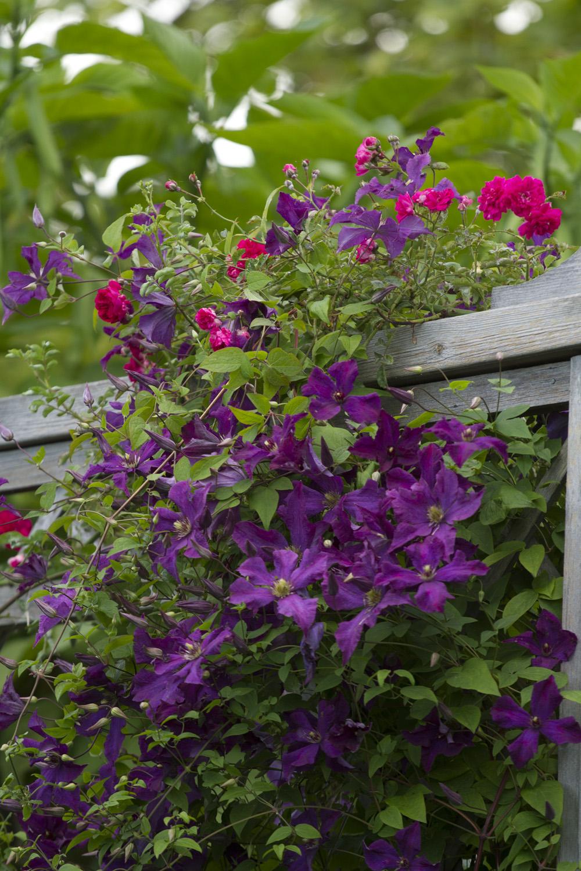 Den har selskap av den stiklingsformerte rosen 'Excelca' som jeg synes er så fin. Den har små tettfylte, burgunder blomster i klaser sent på sommeren. Men den er dessverre svært utsatt for meldugg.