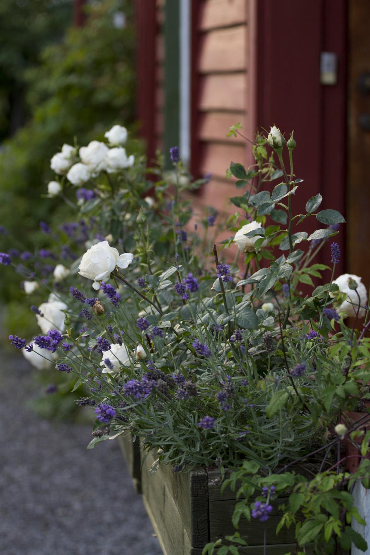 Blomsterkassene med potteroser og lavendel har holdt seg ganske bra gjennom sommeren.