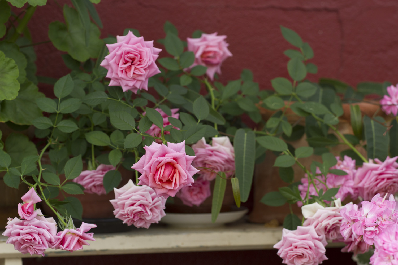 Minipotterosene som ble kjøpt tidlig i sommer, har kommet med nytt blomsterflor som takk for større potter.