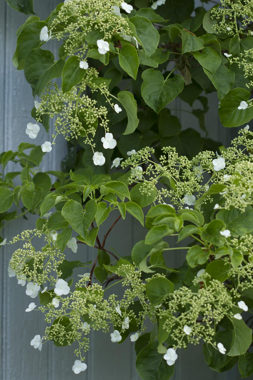 Og selvfølgelig er det blondeblomster i hagen.  Du er hjertelig velkommen til en hagevandring. Et tips er å vente til litt utpå dagen. Kl 12 pleier det å være ganske fullt i hagen.