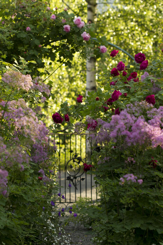 De engelske rosene blomstrer for fullt, mens en del historiske og ramblere står med knopper.