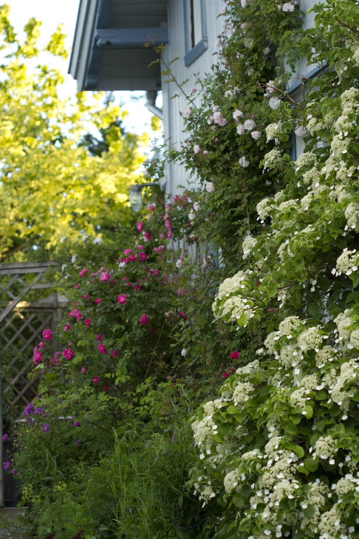 Selv om østveggen ble malt først på sommeren, begynner det å blomstre her også. Venusta Pendula står snart på sitt fineste og strekker noen roser helt opp i 2. etasje