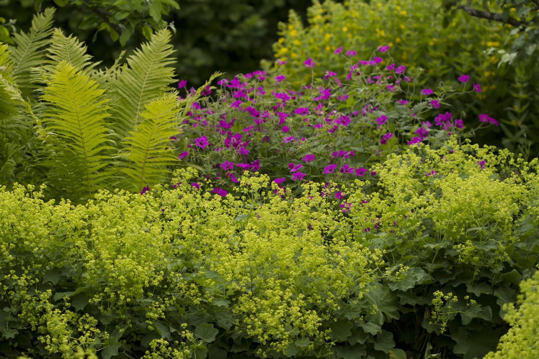 Marikåpene vokser og vokser. Jeg synes de limefargede blomstene lyser opp i hagen
