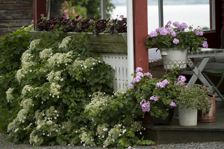 Klatrehortensiaene i hagen blomstrer fint nå.