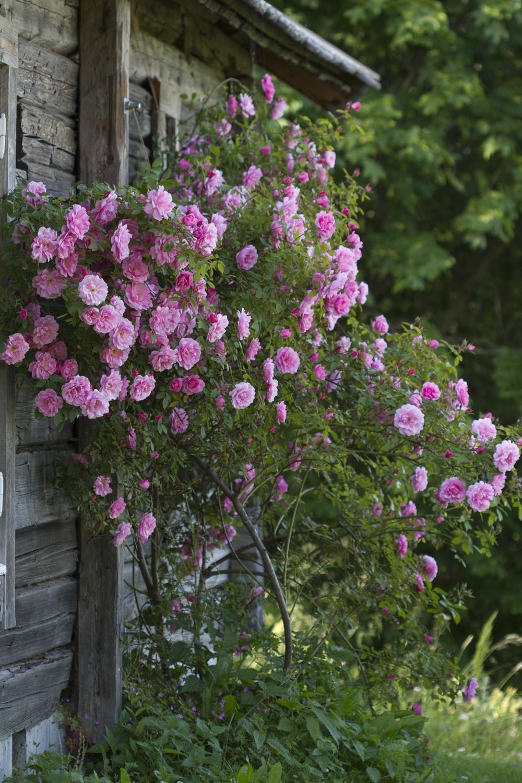 Når jeg åpner hagen i slutten av juni er det grønnfargene som dominerer, nå har det kommet mange flere fargerike blomster. Ønsker du å se de engelske rosene blomstre i hagen på Fredholm i år, må du nok ta turen innom denne helgen.   Her  er en bildeserie tatt i hagen de to siste dagene:  Denne helgen er vi så heldige å ha Marit Myrstad på besøk i hagen. Hun har med seg staudene sine for salg. Her er det mange historiske godbiter.  Velkommen innom!