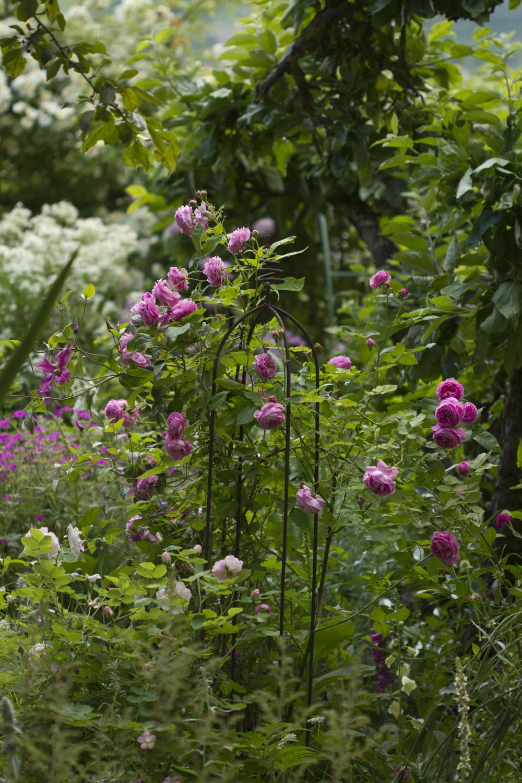 Selv om 'Chianti' og 'Constance Spry' er ferdig med hovedfloret, er det mange roser som blomstrer bra. Jeg har 'Louise Odier' fire plasser i hagen og alle blomstrer fint nå.