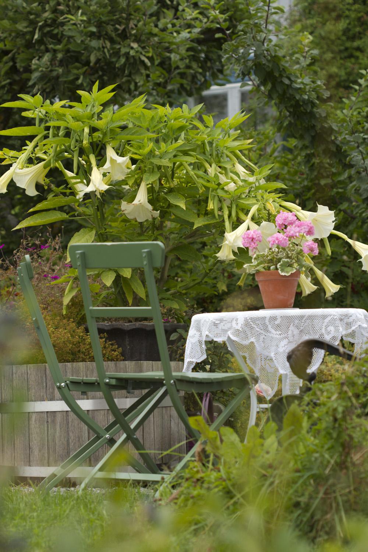 Den hvite engletrompeten jeg fikk som stikling i fjor vår har vokst seg stor og blomsterrik og dufter aldeles nydelig få kveldstid.
