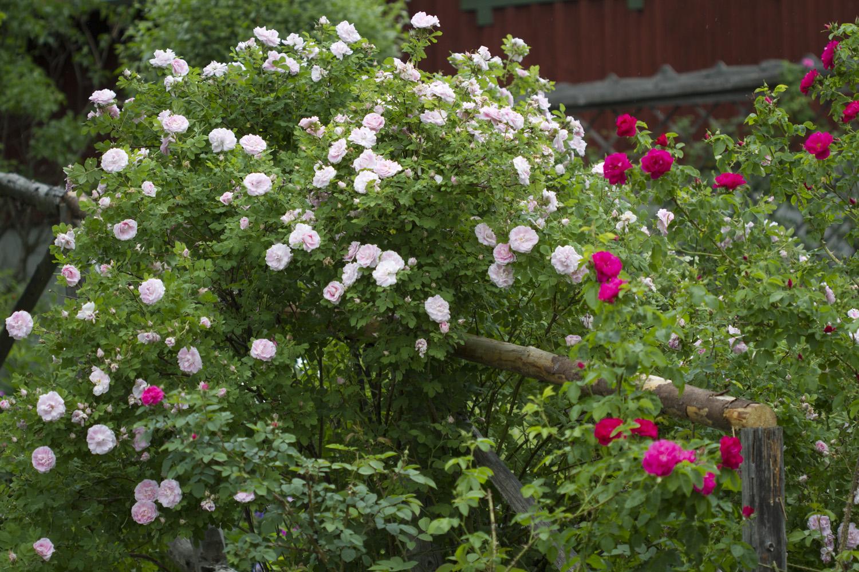 Og det er nok første gang vi åpner hagen med så stor blomstring. Dette bildet viser den kanadiske tøffingen 'Martin Frobisher' som står i fullt flor.