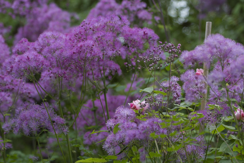 Akeleiefrøstjerne   Thalictrum aquilegiifolium   er alltid velkommen hver forsommer. Den er av det billige, villige slaget som passer perfekt i en Cottage Garden. Jeg handlet meg en plante for 25 år siden og nå har jeg vel over hundre :-) helt gratis.