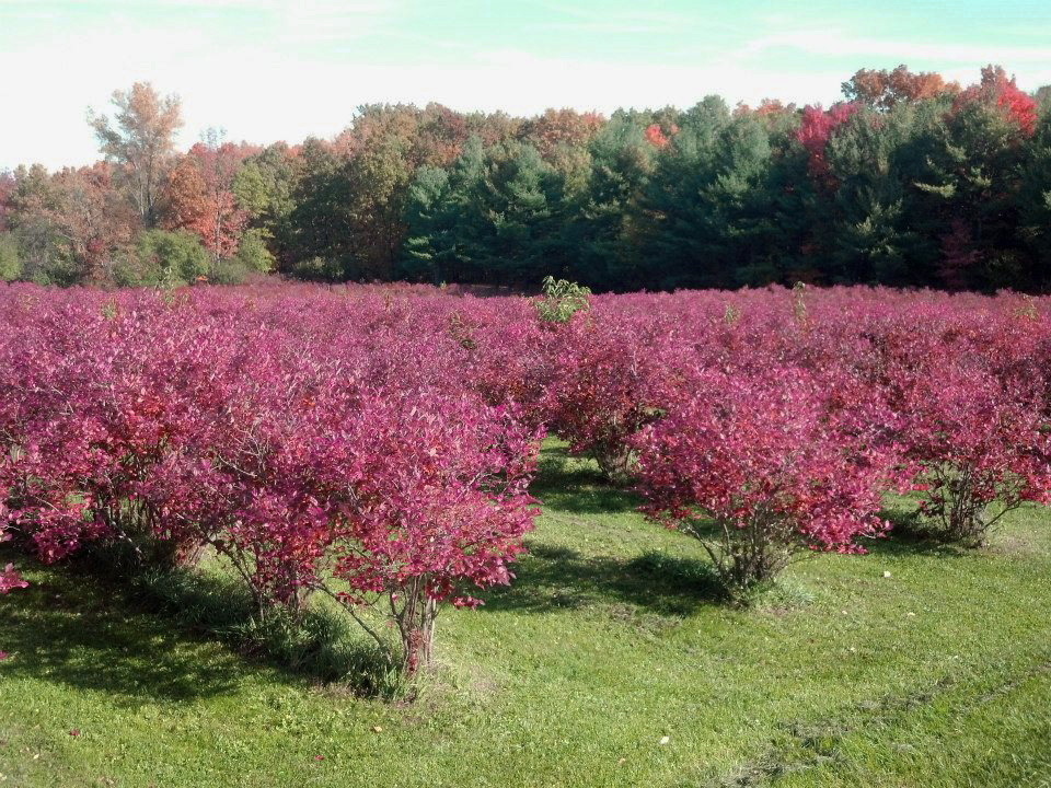 SERENDIPITY BLUEBERRY FARM  3455 CHUBB HOLLOW RD, PENN YAN, NEW YORK, 14527   LP $365,000    SP $365,000 - CLOSED 04/19/2018    Seller Represented by Sarah Welch, Howard Hanna Lake Group   This beautiful hobby farm acreage is a fully working blueberry farm that allows you to step in and continue business as usual...