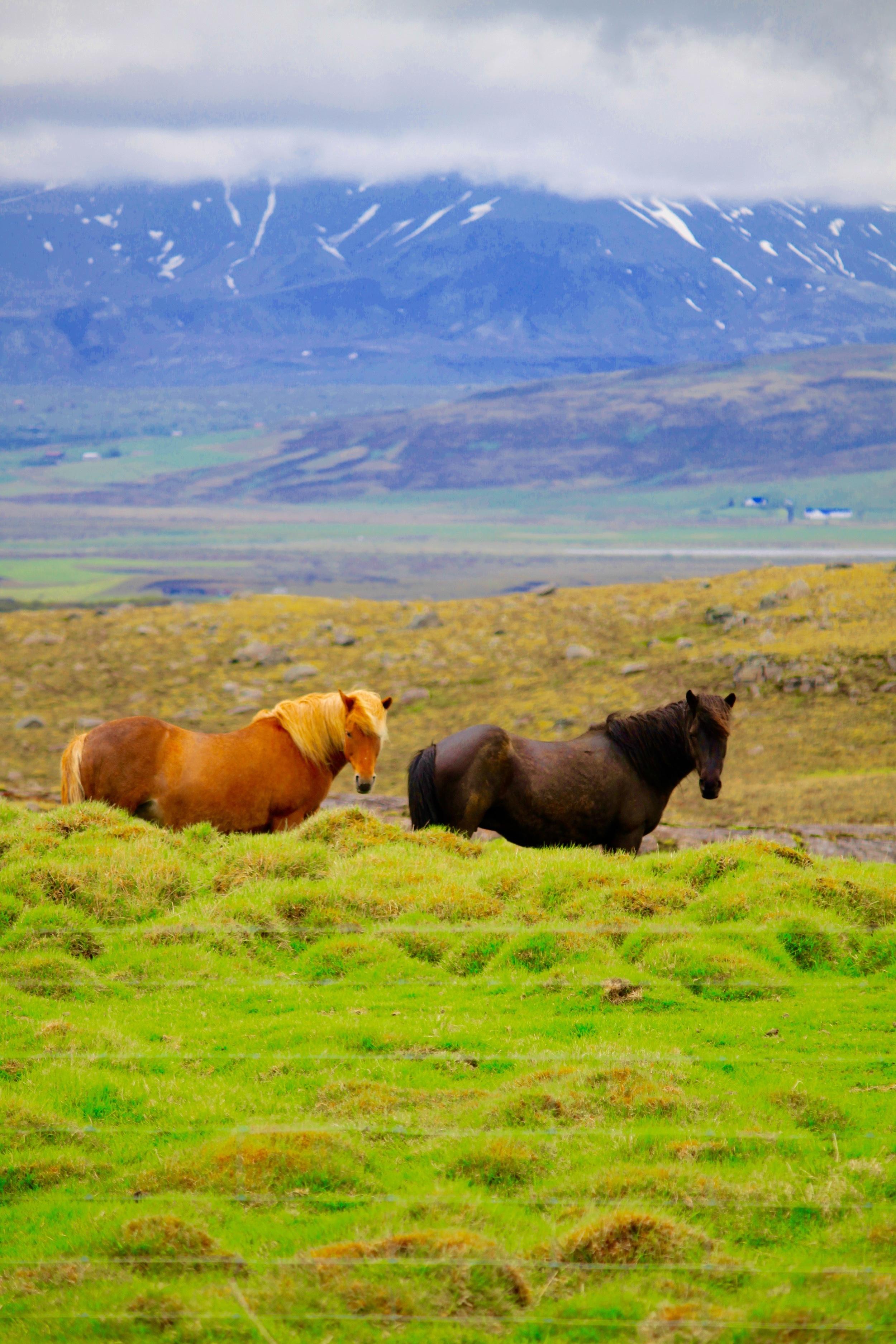 Brawny horses in Iceland - 3 Days*