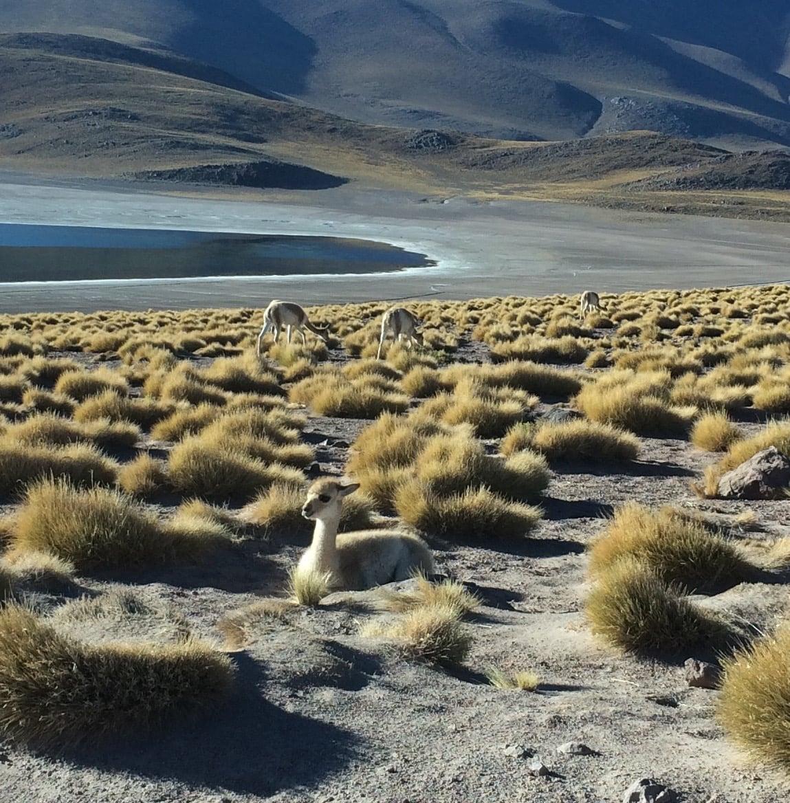 Vicuña, Altiplano Atacama Chile - 3 Days*