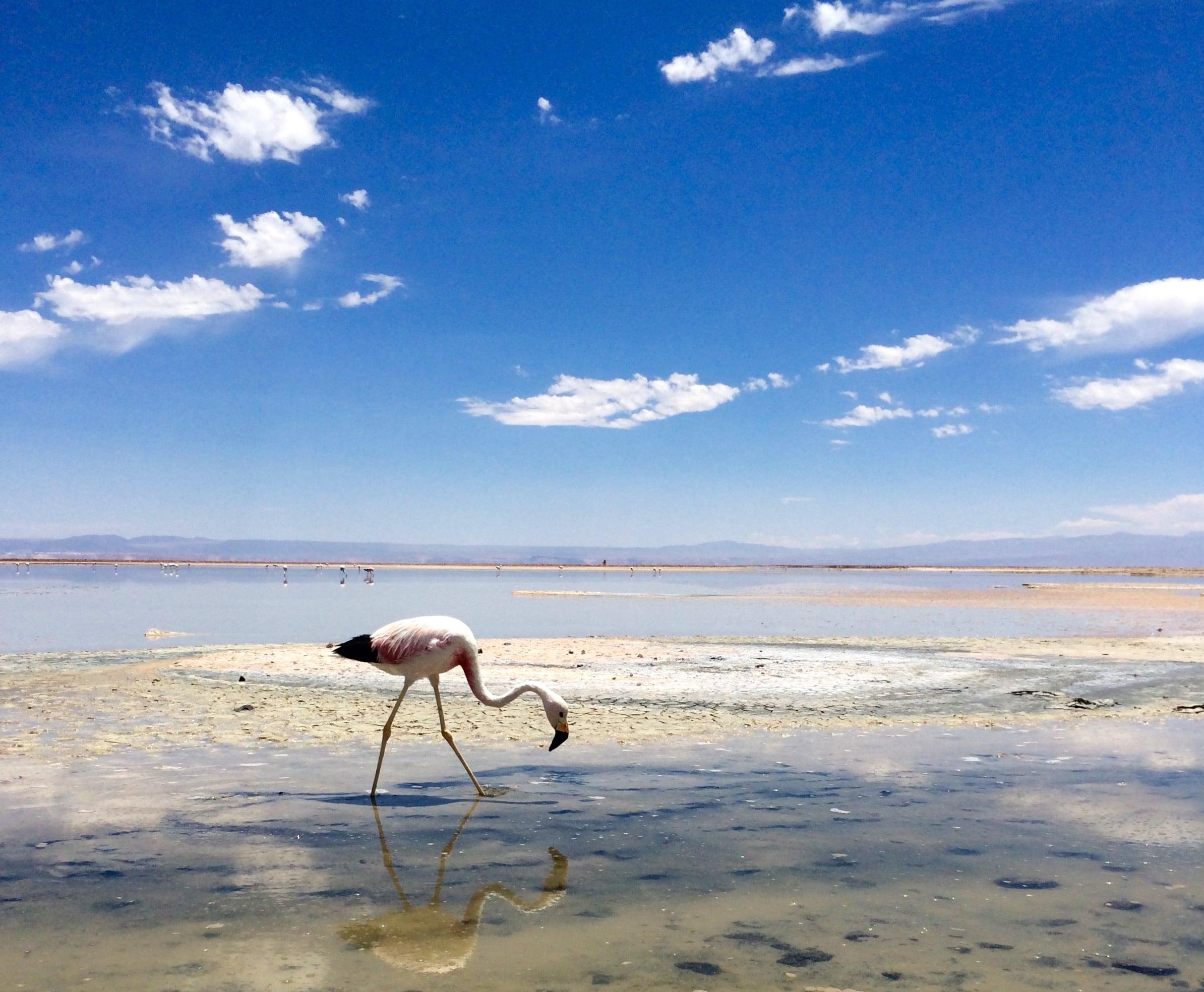 Flamingo in Saltflats, Atacama Desert Chile - 3 Days*
