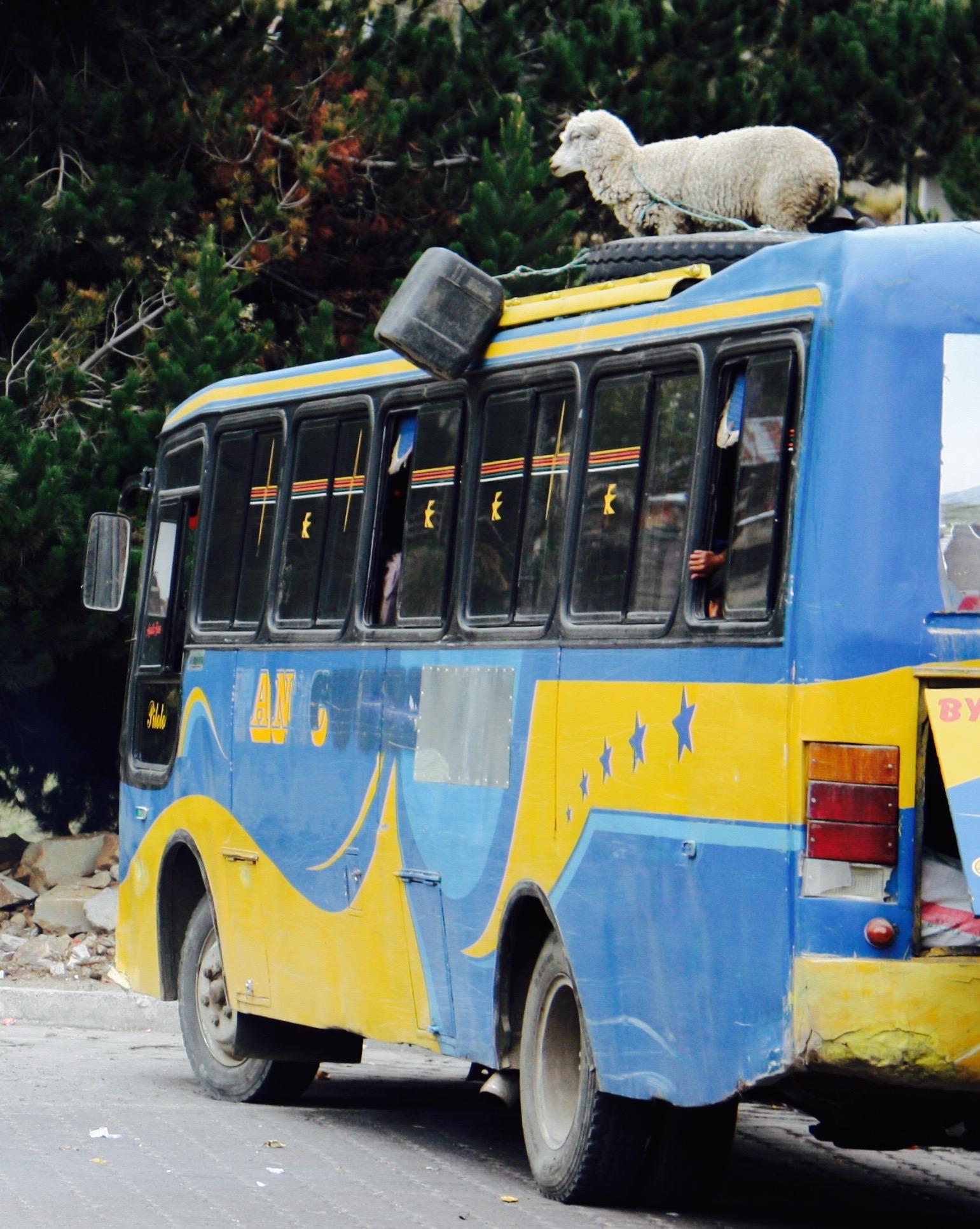 Sheep riding on bus, Ecuador - 3 Days*