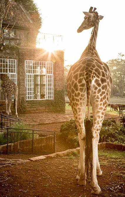 The Giraffe Manor, Kenya, Africa - Roland Emmerich - 📸 The Safari Collection