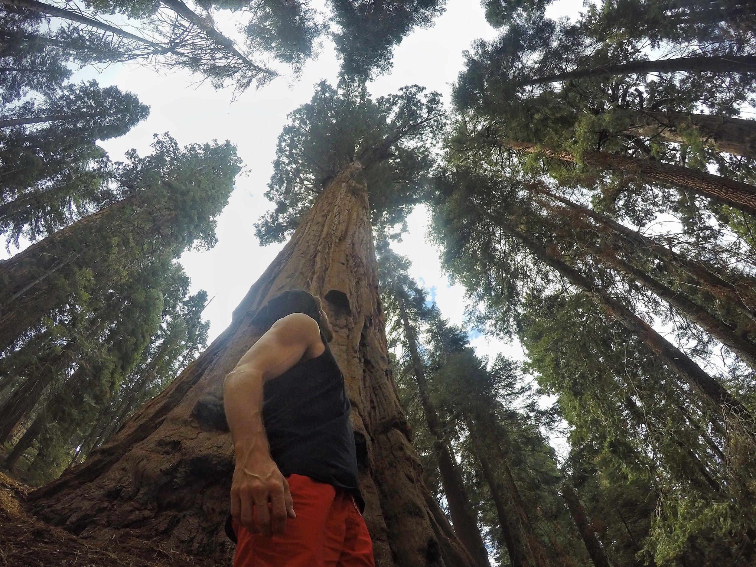 Aaron Medeiros amongst Sequoia trees, CA, US - 3 Days*