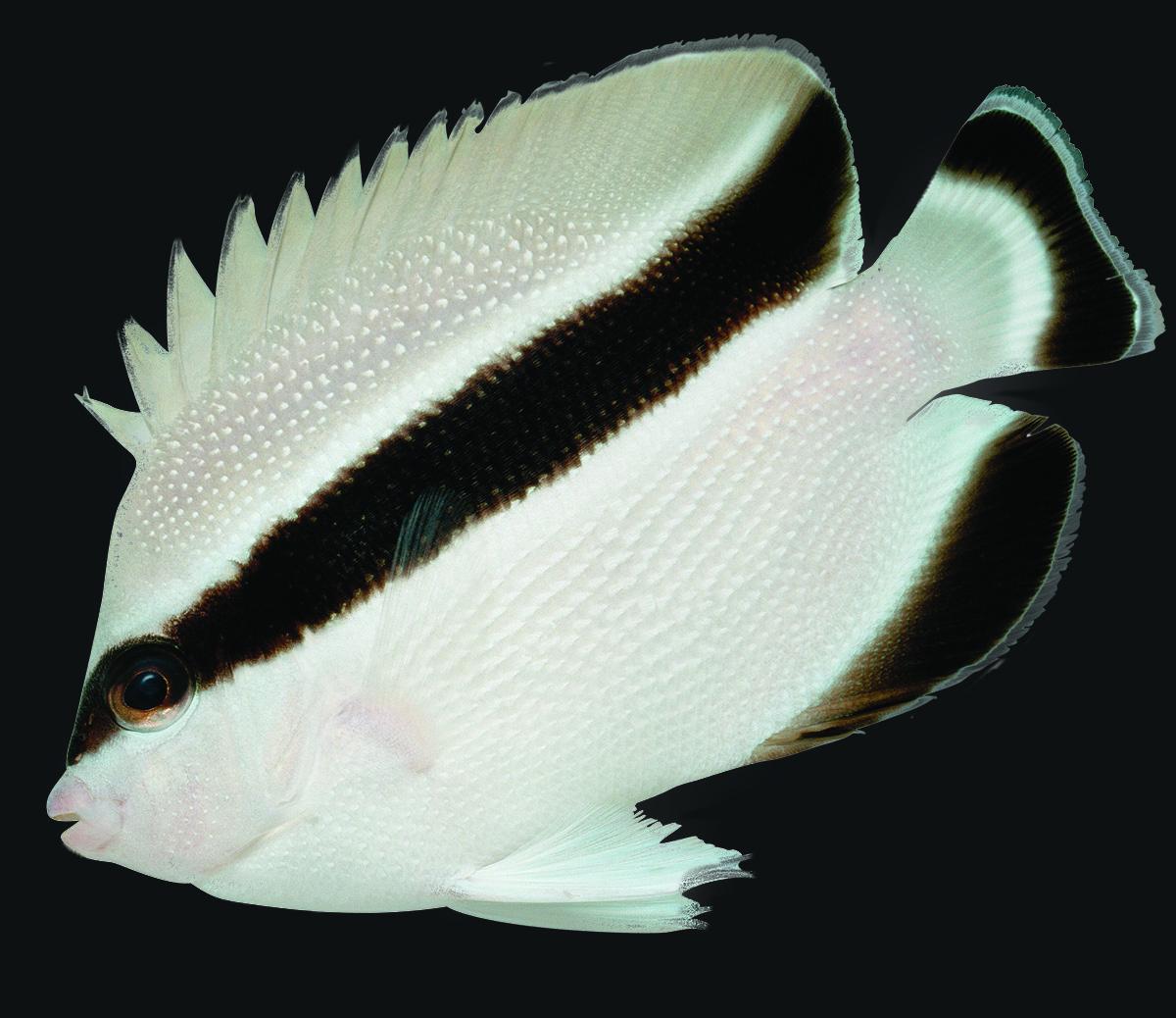 Bandit Angelfish