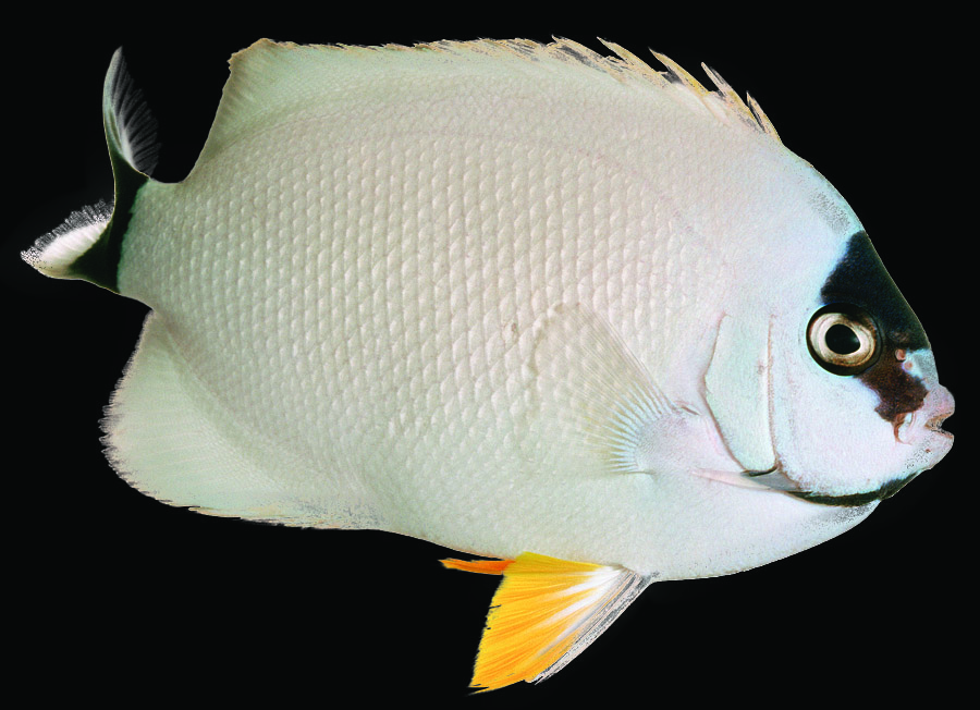 Masked Angelfish (female)