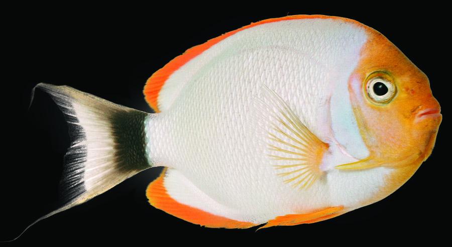 Masked Angelfish (male)
