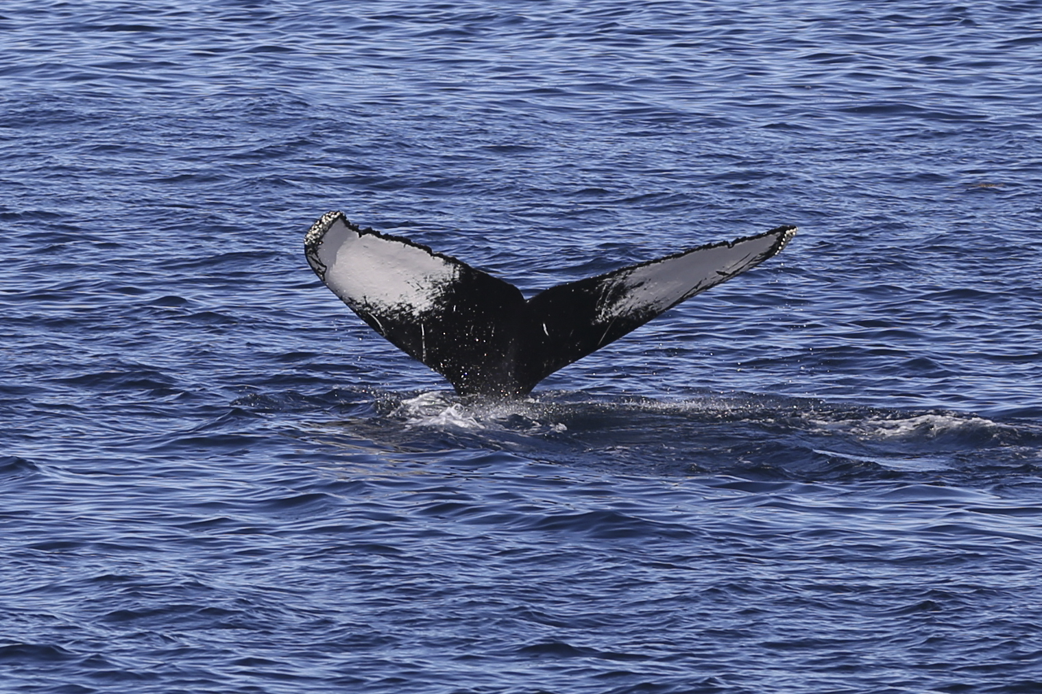 The same humpback nicely showing it's tail pattern