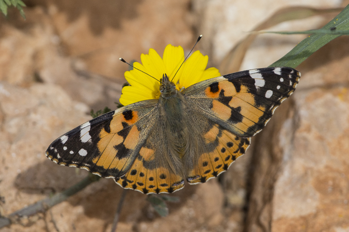 The commonest butterfly is Painted Lady.