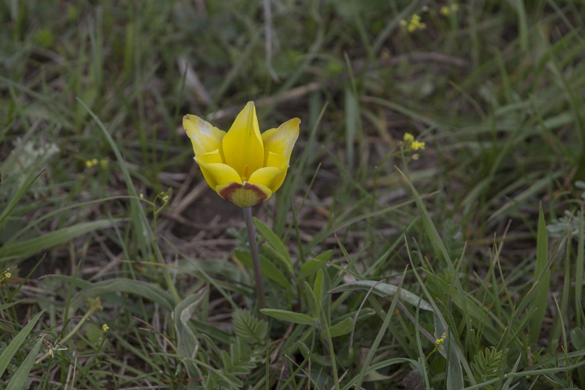 Wild tulip.
