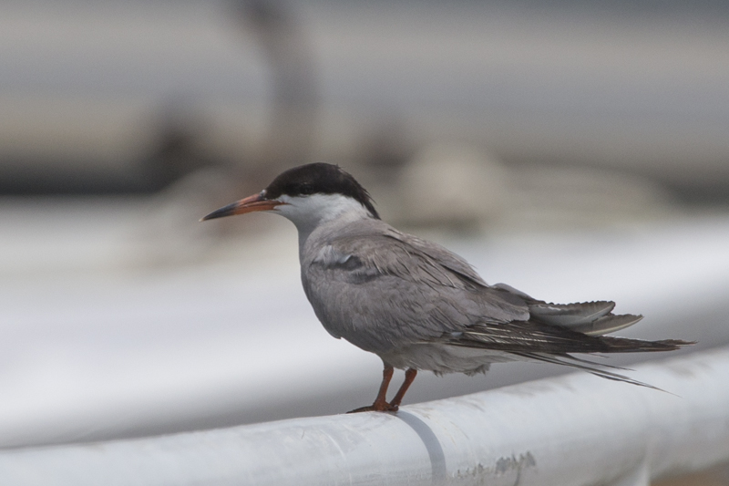 A white-cheeked tern in Kalba harbour
