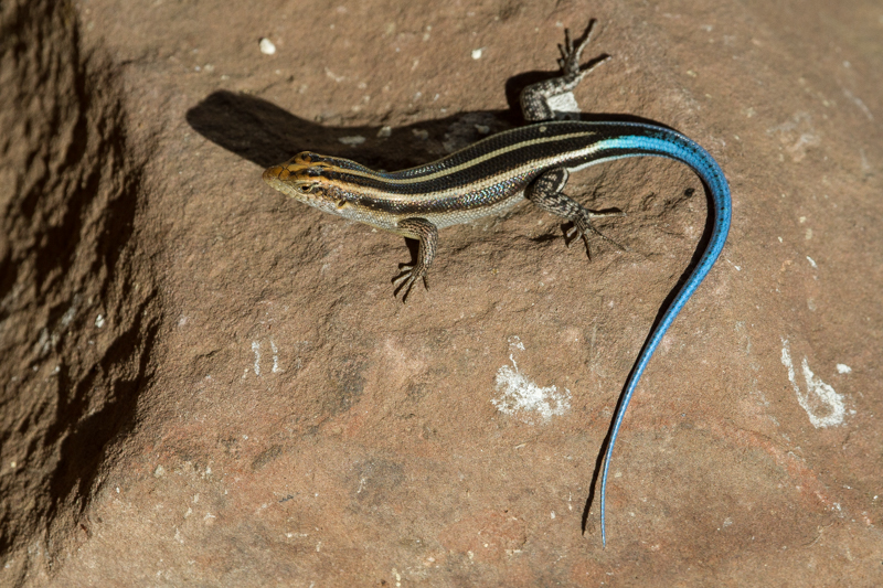 Blue-tailed skink. A common small lizard but attractive nonetheless.