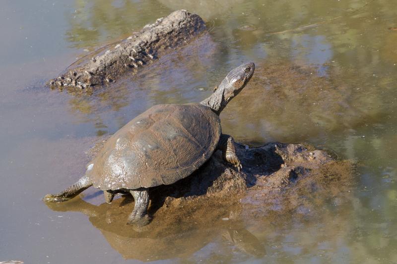 Pan-hinged terrapins can be found at most waterholes.