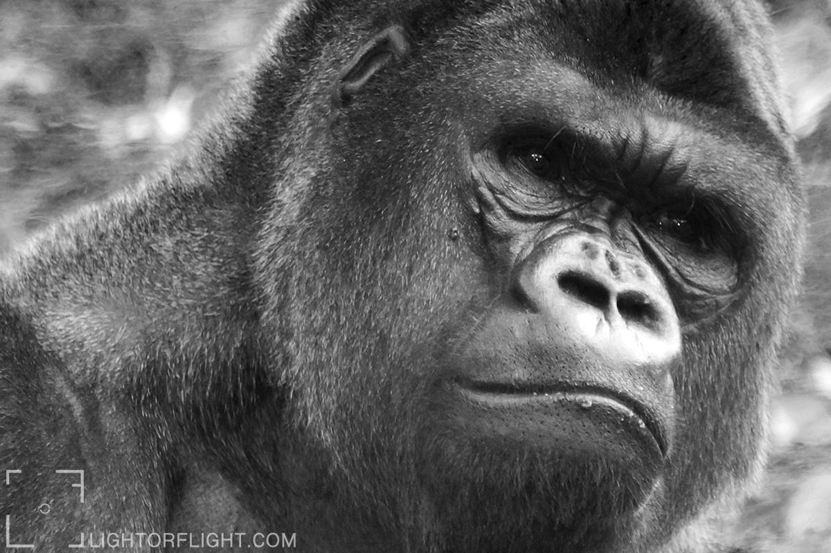 Western Lowland Gorilla (Gorilla gorilla gorilla) (c)