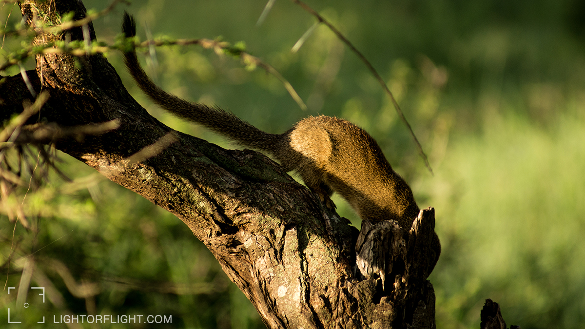 Tree Squirrel (Paraxerus)