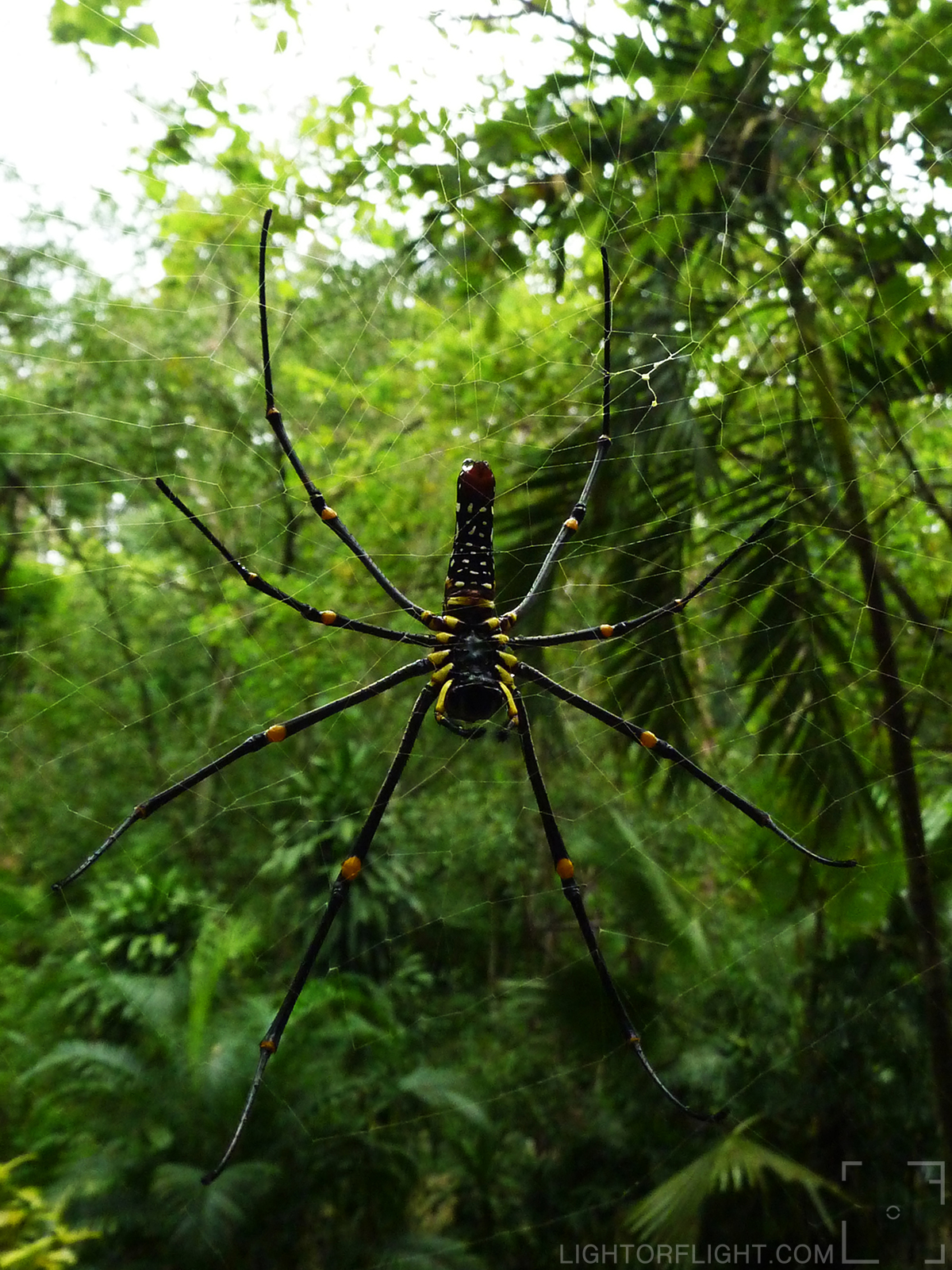 Female Northern Golden Orb Weaver (Nephila pilipes)