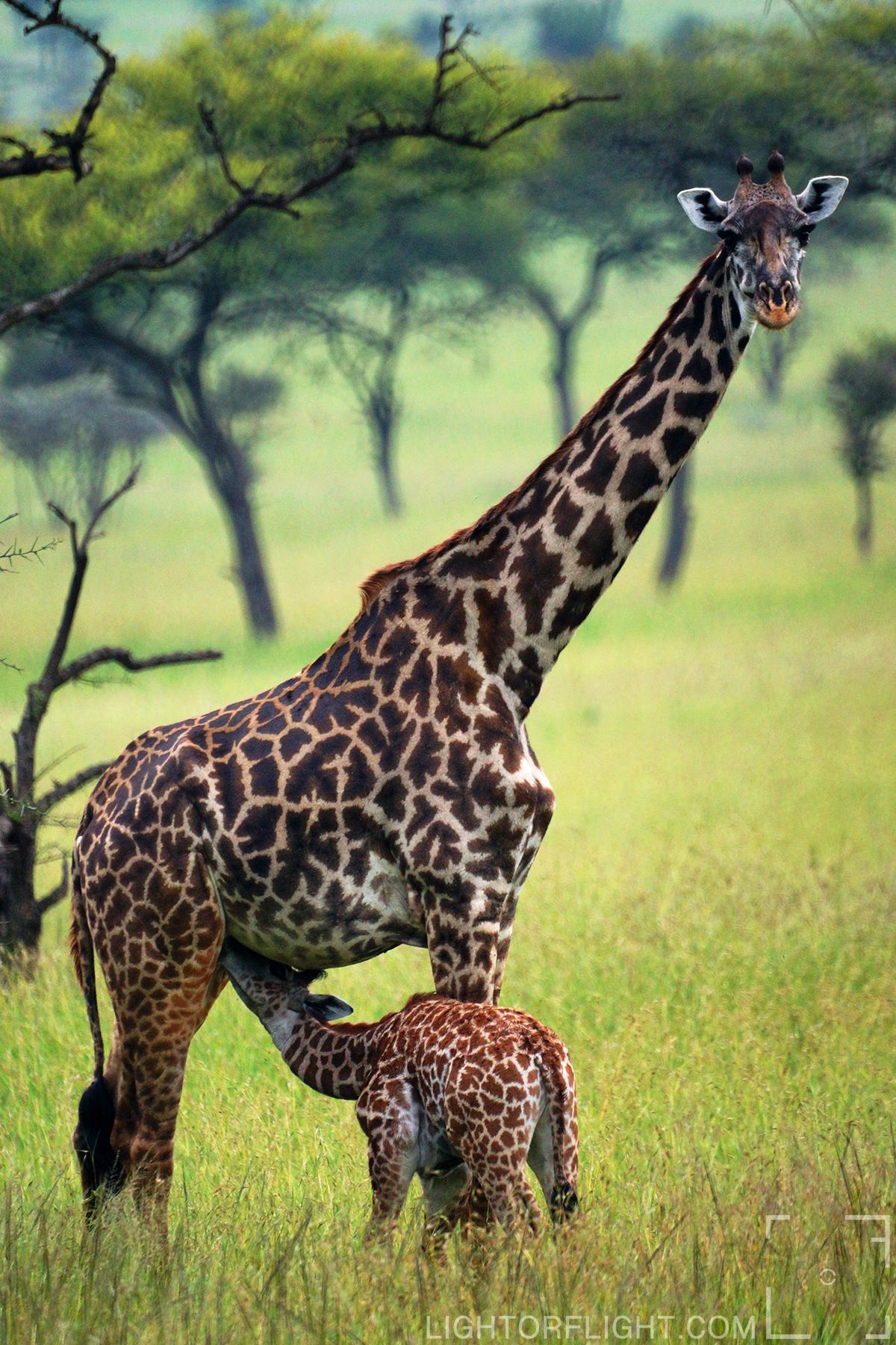 Kilimanjaro Giraffe (Giraffa camelopardalis tippelskirchi)