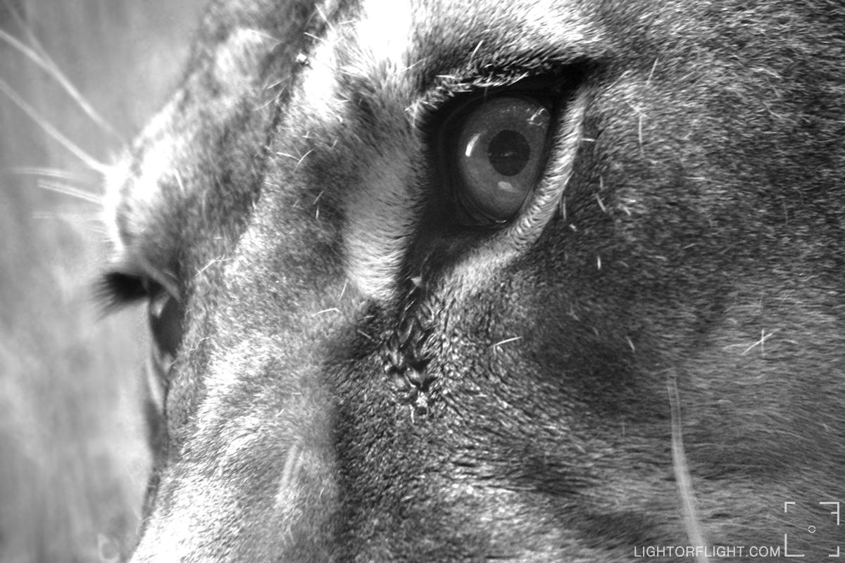 Lioness (Panthera leo)