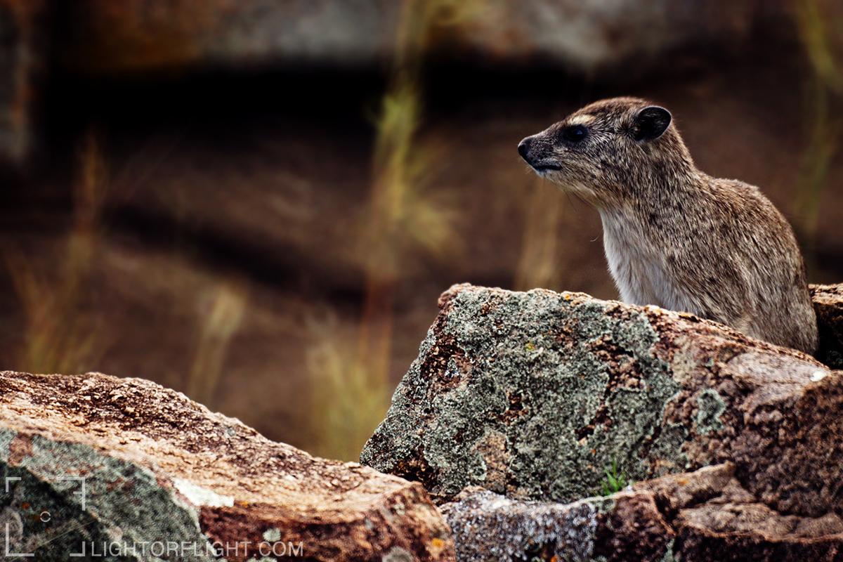 Yellow-spotted hyrax (Heterohyrax brucei)