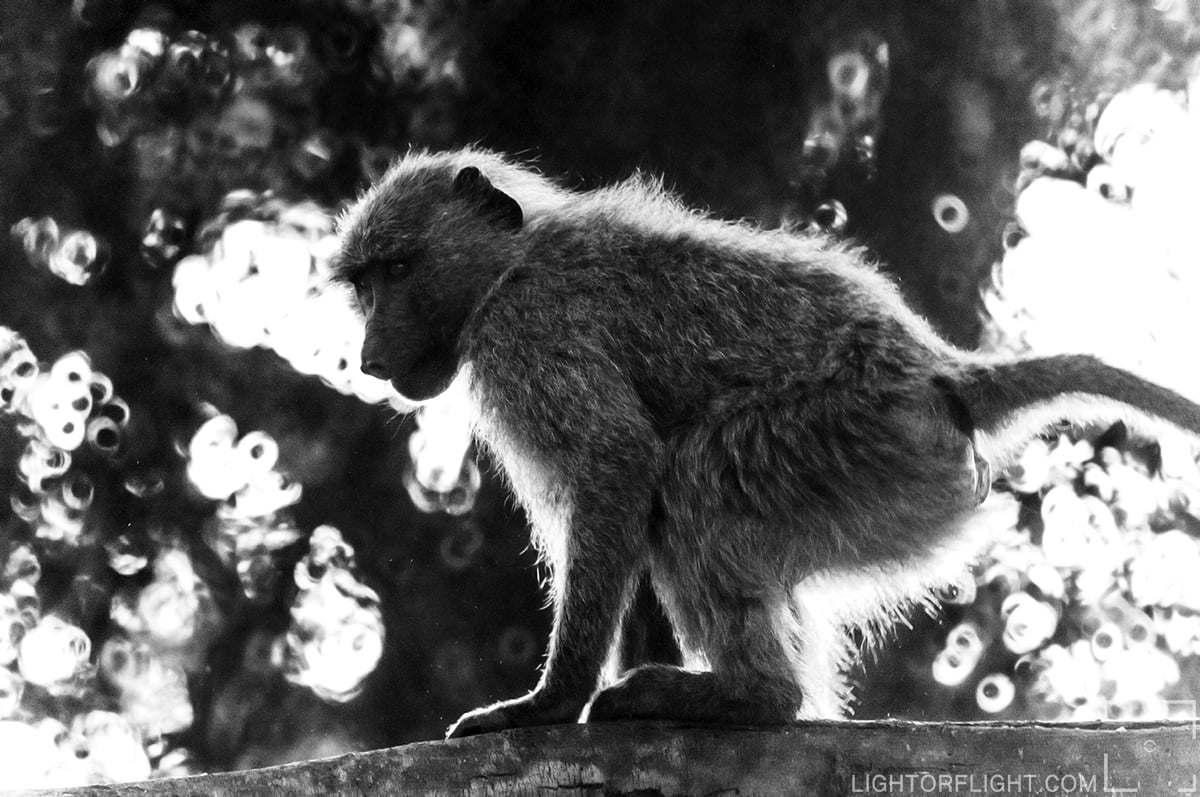 Olive Baboon (Papo anubis)