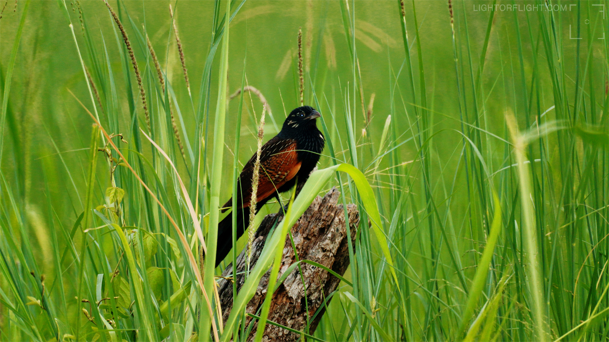 Black Coucal (Centropus grillii)
