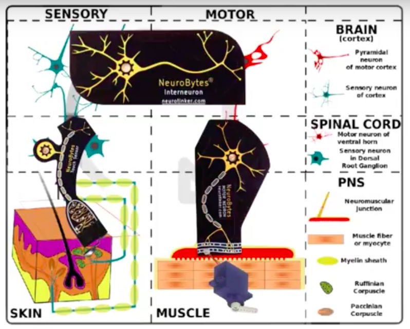 NeuroBytes Motor Neurons