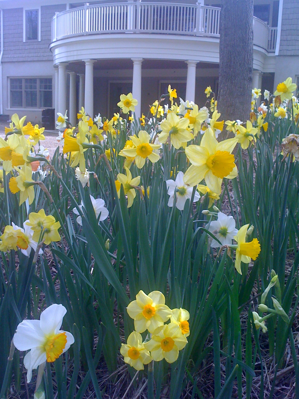 The Phyllis & Charlie Speidel Daffodil section of the Marian & Hans Kretsch Gardens offers a respite from the concerns of cancer.