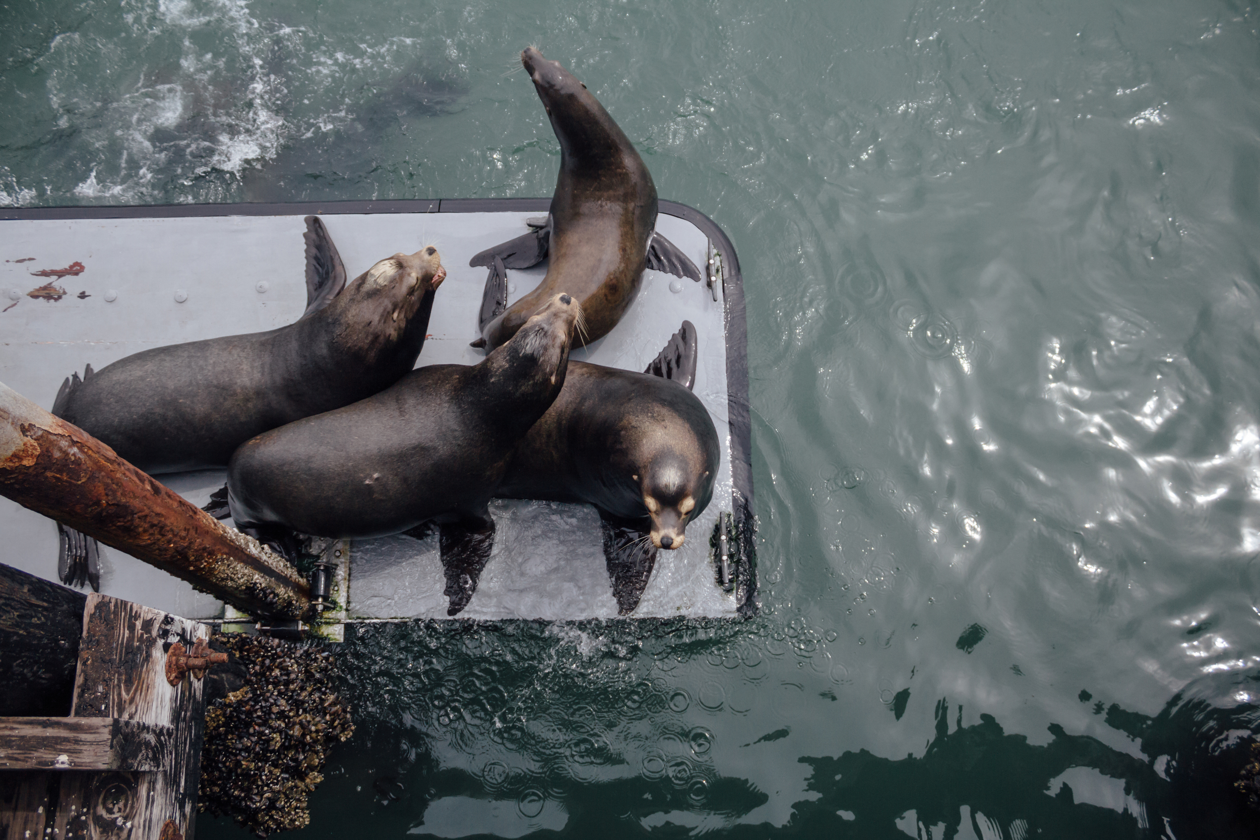 Sea Lions in Santa Cruz by Catherine Alyce