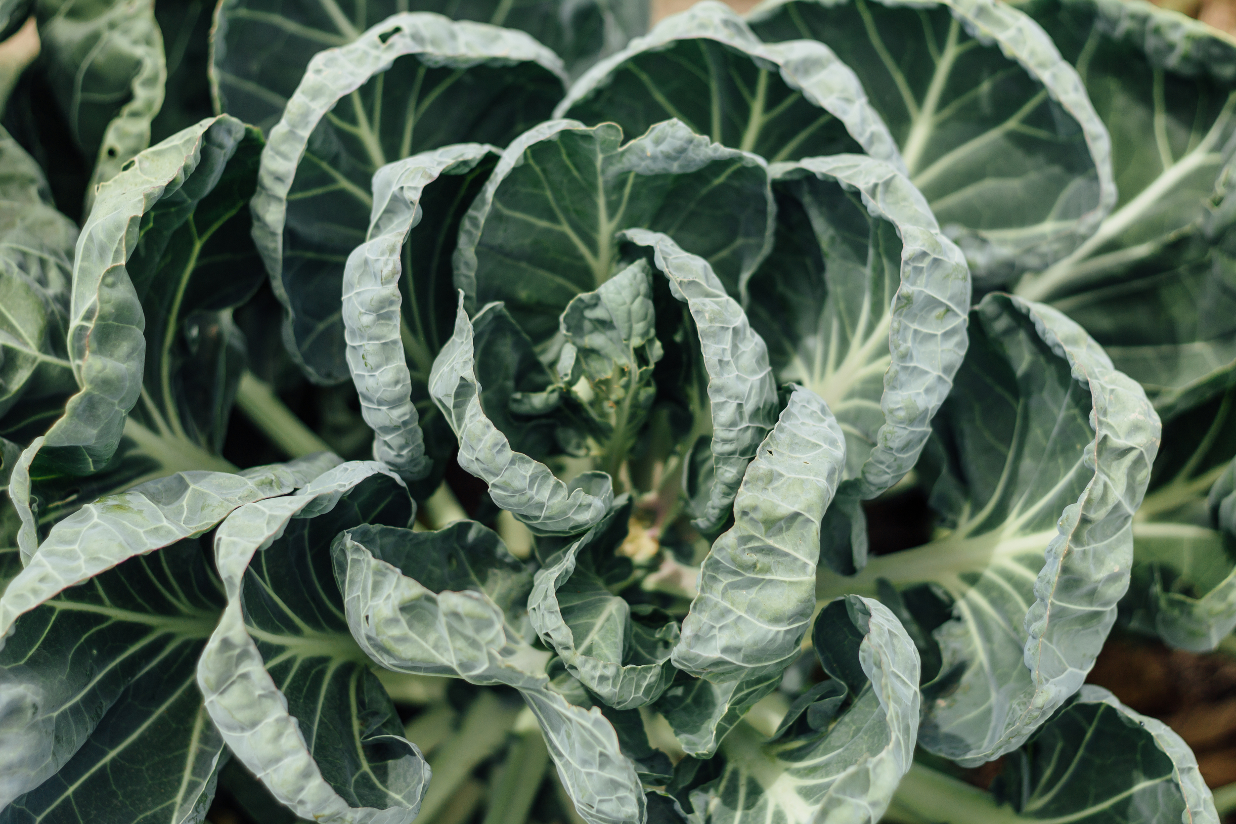 Cabbage From Above by Catherine Alyce