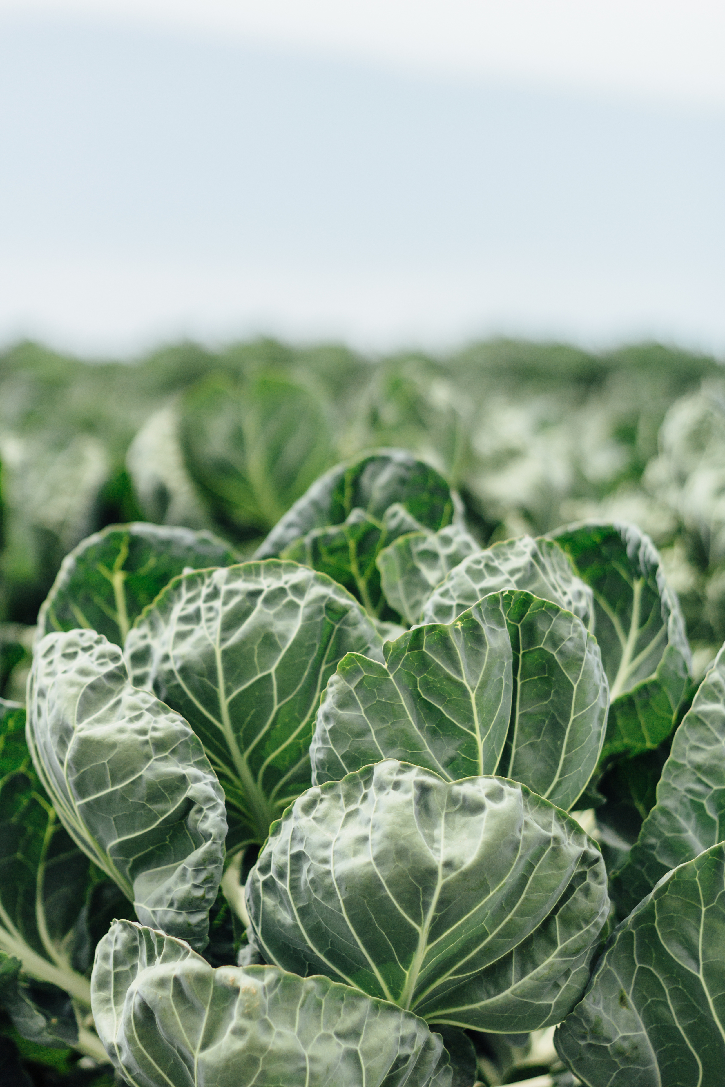 Cabbage Views by Catherine Alyce