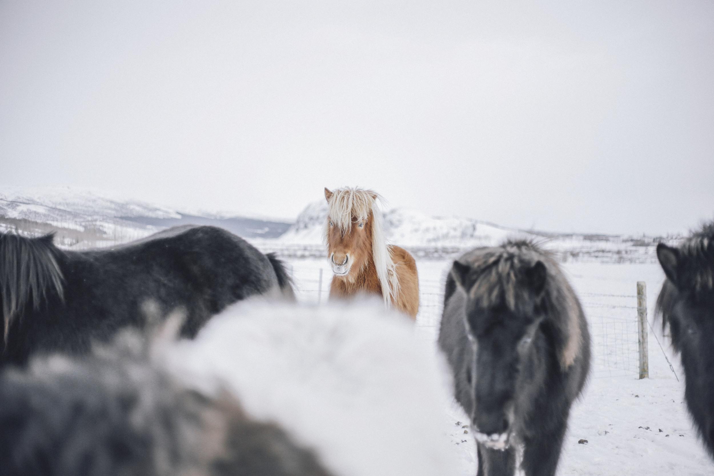 Iceland Pony