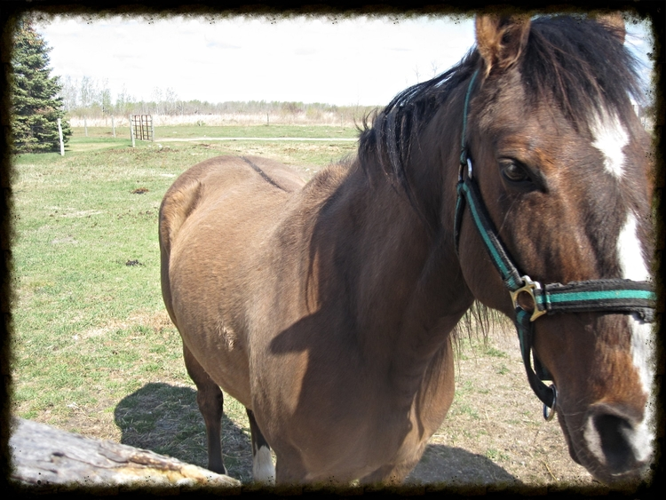 "Ominotago"" (Omi) which is Native American for ""beautiful voice"" is a Dunn Mare who Hooves 'N Hounds rescued from Auction in the spring of 2015."