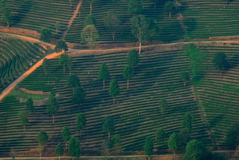 Tea plantations, Mae Salong, Thailand