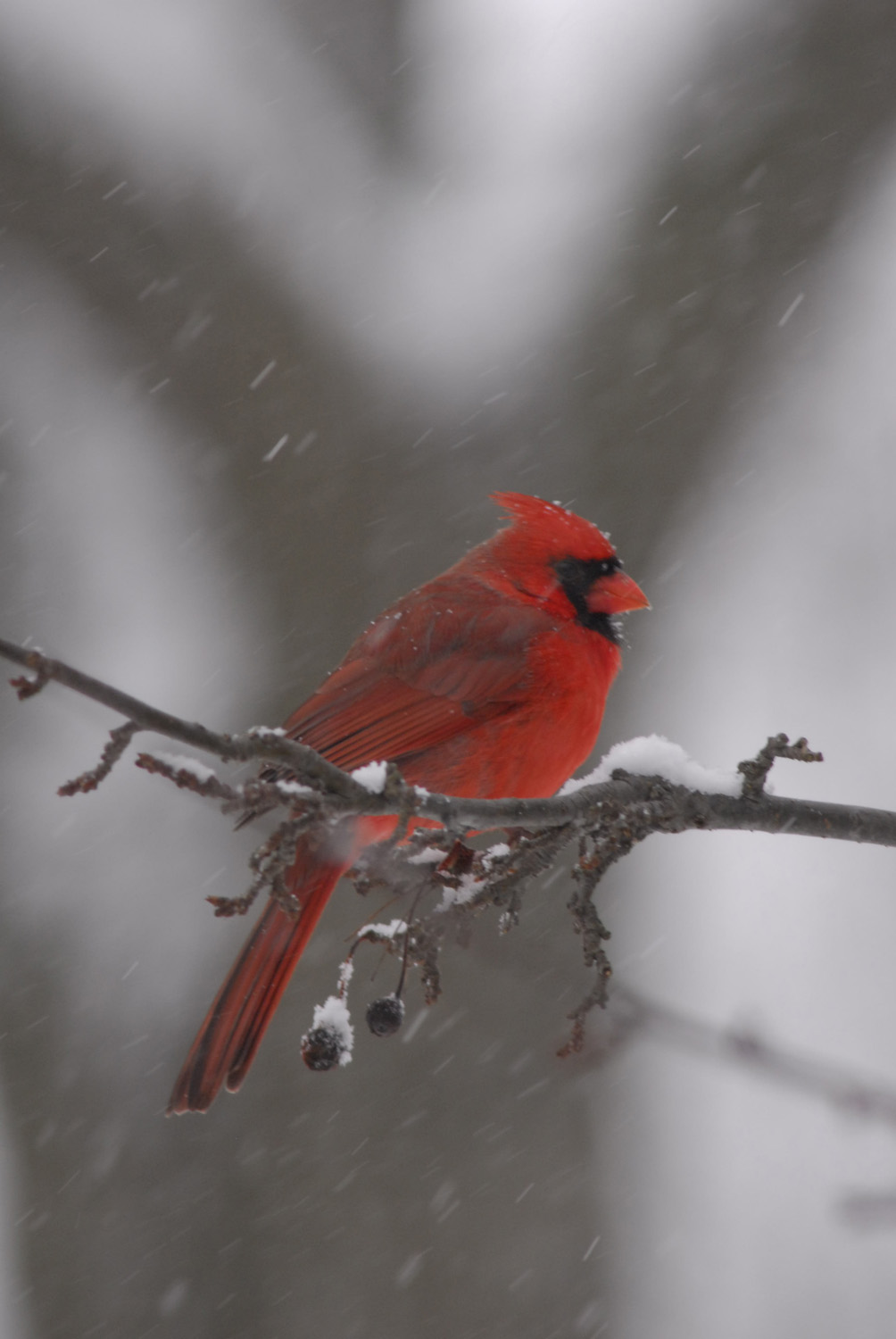 Cardinal in snow, Brookfield, Wisconsin