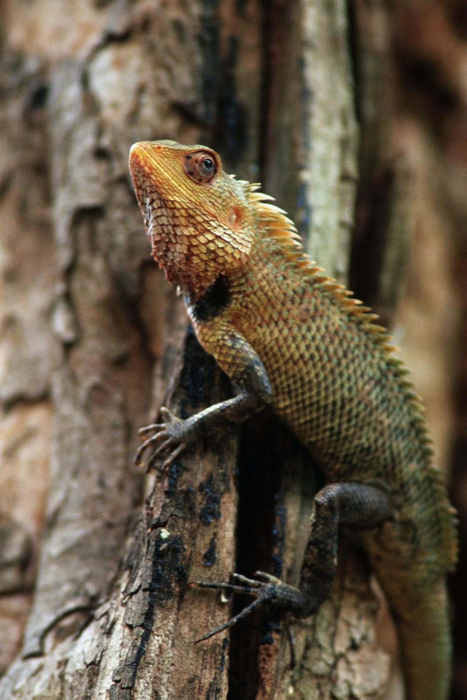 Chameleon, Sri Lanks