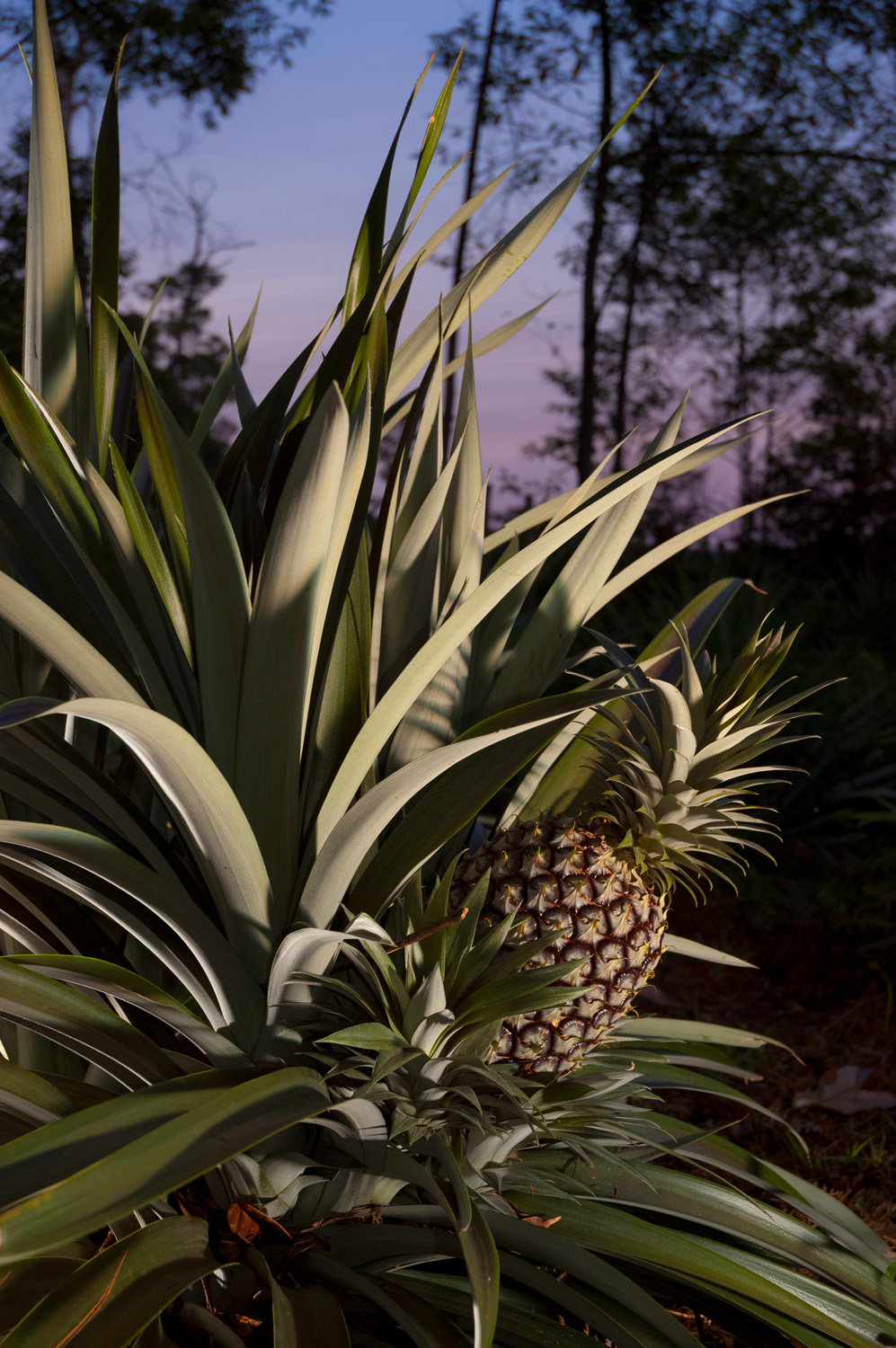 Pineapples grow in a field on a hill above Pa Lungan, in Malaysian Borneo.