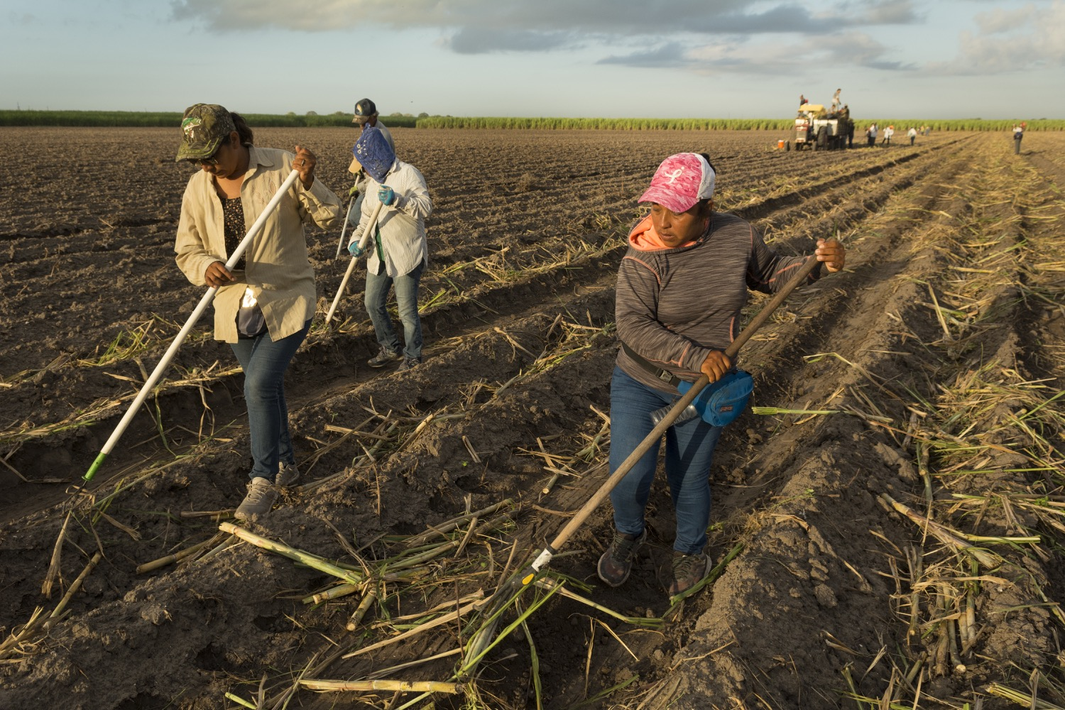 Day laborers rake sugar cane into rows in a field in South Texas.©2018/Jerry Redfern